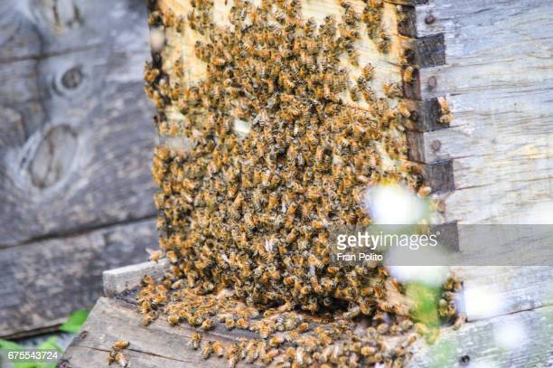 Swarm of honey bees on the side of a Langstroth beehive.