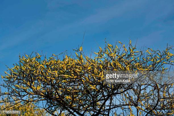 A swarm of locusts aggregates on the canopies of shrubs at Lerata village near Archers Post in Samburu county approximately 300 kilomters north of...