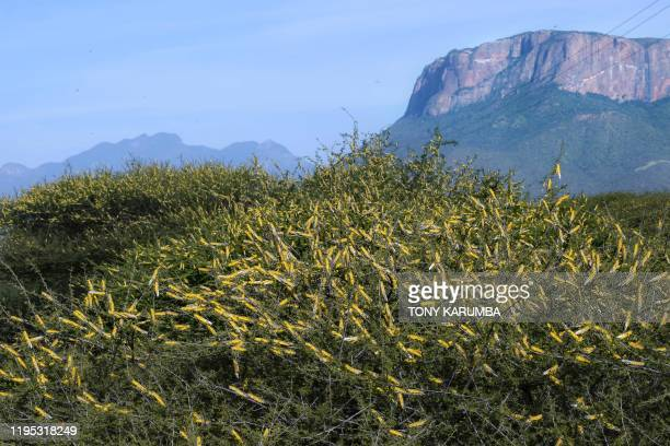 A swarm of locusts aggregates on the canopies of shrubs ON January 22 at Lerata village near Archers Post in Samburu county approximately 300...