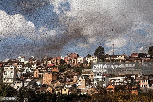 A swarm of locusts invades the center of Mdagascar capitol Antananarivo on August 28 2014 AFP PHOTO/RIJASOLO