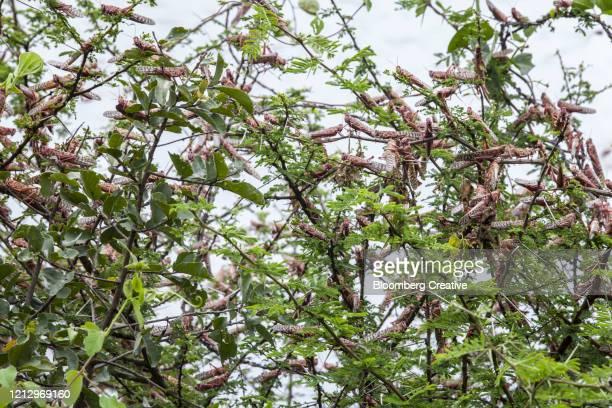 a swarm of locusts on crops - gafanhoto imagens e fotografias de stock