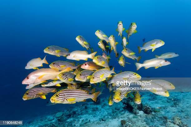 swarm of oriental sweetlips (plectorhinchus vittatus) with ehrenberg's snapper (lutjanus monostigma), great barrier reef, unesco world heritage, pacific - オキスズキ ストックフォトと画像