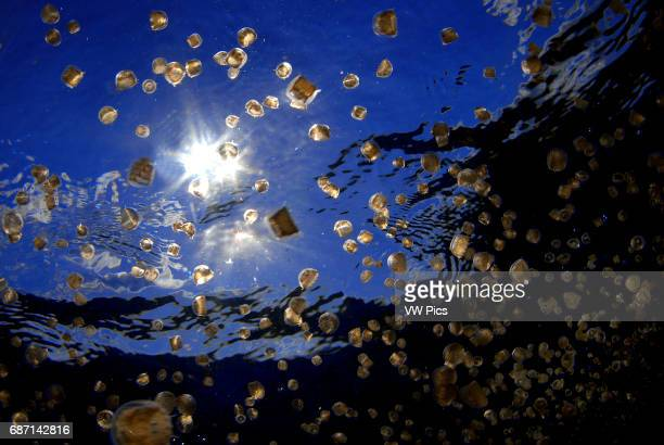 swarm of sea thimble jellyfish or thimble sea jelly Linuche unguiculata produce larvae known as sea lice which sting and cause itching rash Isla...