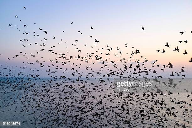 Swarm of Starling birds