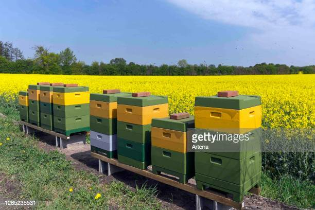 Swarm of Western honey bees / European honey bee workers returning to colony in beehives / bee hives in rapefield.