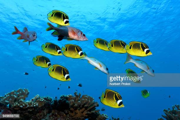 swarm raccoon butterflyfish (chaetodon lunula), yellow, together with sabre squirrelfishesn (sargocentron spiniferumn), red, swimming over coral reef, pacific ocean, french polynesia - squirrel fish stock photos and pictures