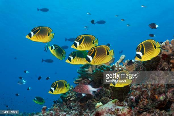 swarm raccoon butterflyfish (chaetodon lunula), yellow, together with sabre squirrelfish (sargocentron spiniferum), swimming over coral reef, pacific ocean, french polynesia - squirrel fish stock photos and pictures