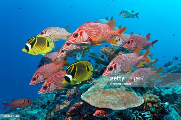 swarm sabre squirrelfish (sargocentron spiniferum), together with raccoon butterflyfishn (chaetodon lunula), pacific ocean, french polynesia - squirrel fish stock photos and pictures