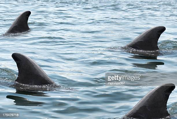 swarming sharks - shark fin stock photos and pictures