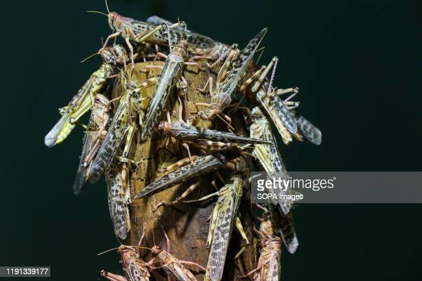 Swarms of Desert Locusts are seen during the annual stocktaking at ZSL London Zoo in central London