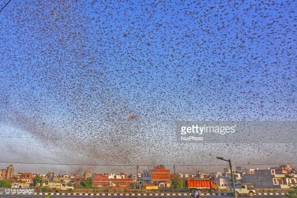 Swarms of locust attack in the residential areas of Jaipur Rajasthan Monday May 25 2020 More than half of Rajasthans 33 districts are affected by...