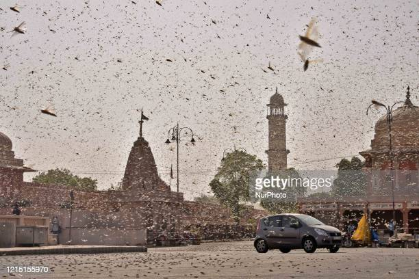 Swarms of locust attack in the walled city of Jaipur Rajasthan Monday May 25 2020 More than half of Rajasthans 33 districts are affected by invasion...