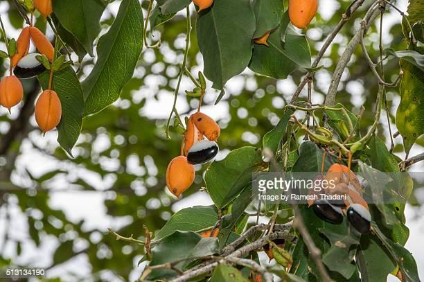 Swartzia apatela tree