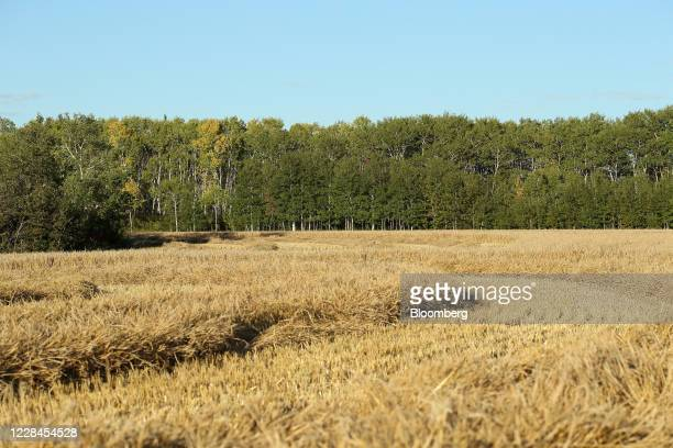 Swathed barley in a field on a farm near Hodgson Manitoba Canada on Thursday Sept 10 2020 A recentcrop tourpegged Canada's harvest at an alltime...