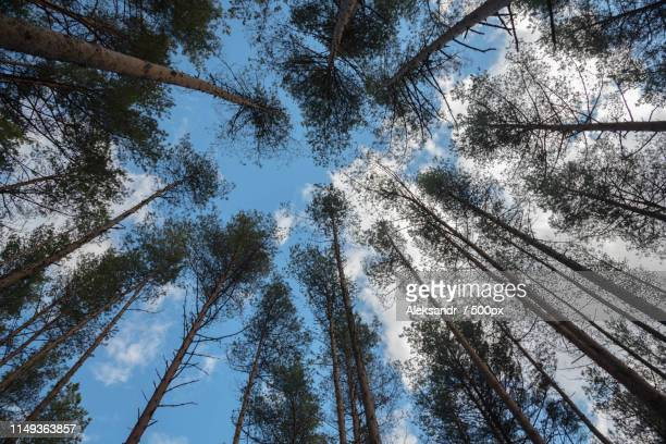swaying tops of bare trees in forest against blue sky - beautiful bare bottoms stock pictures, royalty-free photos & images