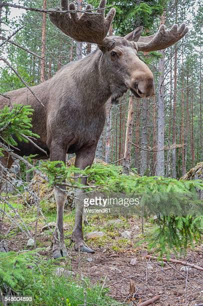 Sweden, Dalarna, Eurasian elk in forest