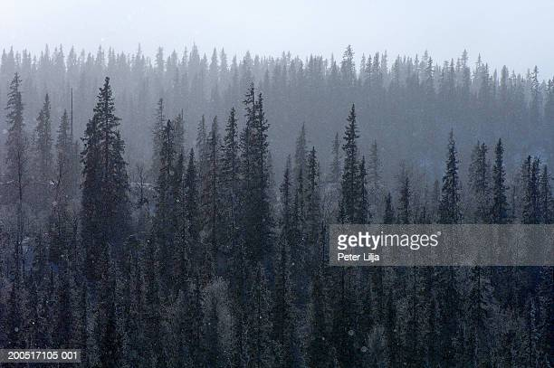 Sweden, Jamtland, Hakafot, frosty spruce forest, elevated view