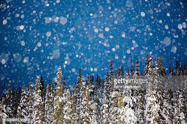 sweden, porjus norrbotten, snowing in spruce forest - nautre stock pictures, royalty-free photos & images