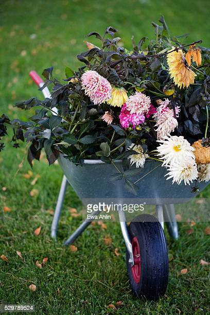 Sweden, Uppsala, dying flowers in wheelbarrow