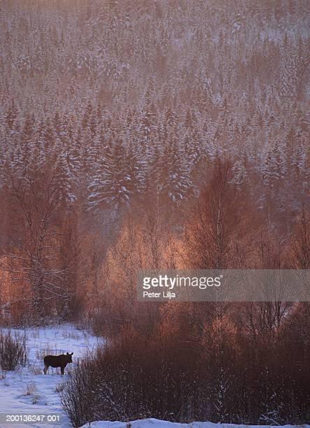 Sweden, Vasterbotten, Djupgroven, Moose (Alces alces) in snowy forest