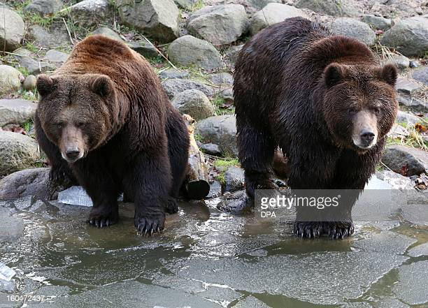 Swedish brown bears Frode and Fred discover the environment after coming out of hibernation at the Nature and Environment Park in Guestrow, eastern...