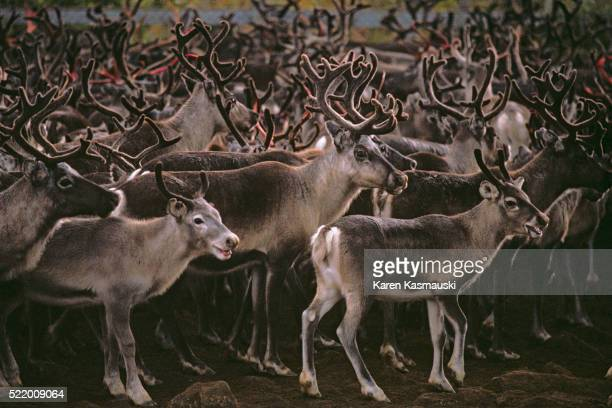 Swedish Reindeer Suspected of High Levels of Radiation From Chernobyl