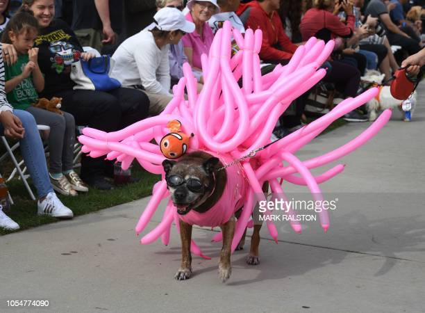 Sweenie the dog struts in his costume at the annual Haute Dog Howl'oween parade in Long Beach California on October 28 2018