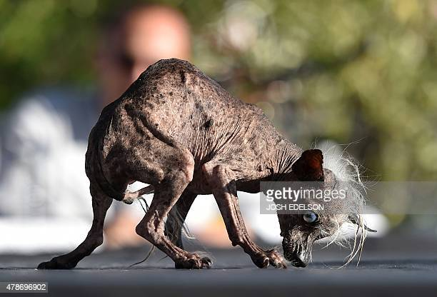 Sweepee Rambo a Chinese Crested is presented to judges during the World's Ugliest Dog Competition in Petaluma California on June 26 2015 Quasi Modo...