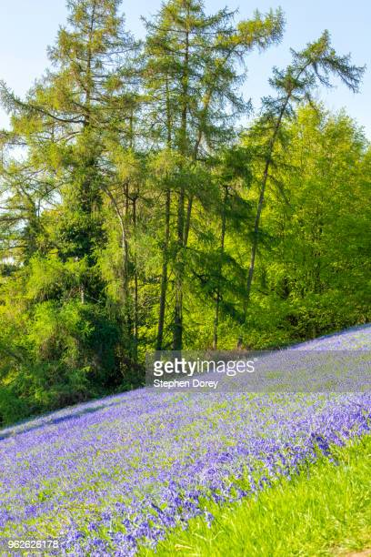 a sweeping display of bluebells in may on the slopes of the malvern hills near great malvern, worcestershire uk - worcestershire fotografías e imágenes de stock