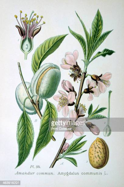 Sweet almond 1893 Botanical illustration of Amygdalus communis the sweet almond from an atlas of the plants of France
