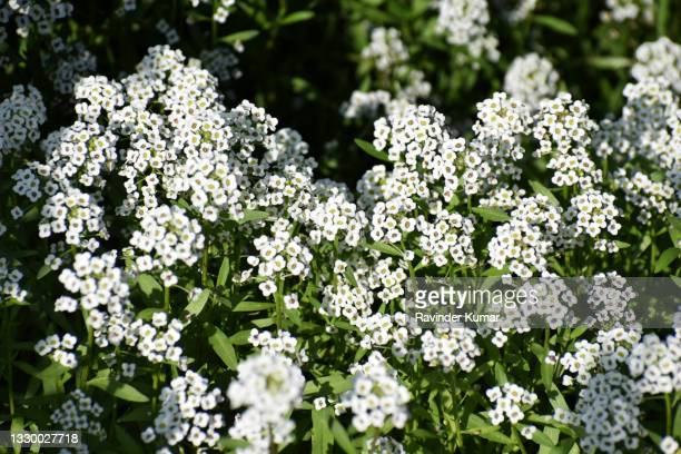 sweet alyssum  beautiful white flowers in clusters. lobularia maritima - ornamental plant stock pictures, royalty-free photos & images