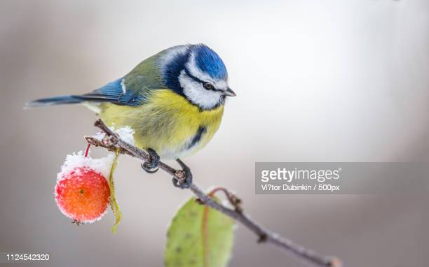 sweet apple (blue tit ) - bluetit stock photos and pictures