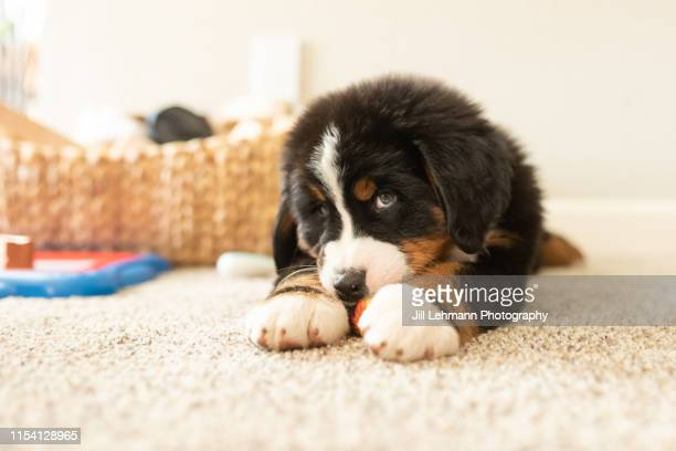 sweet bernese mountain dog puppy at 8 weeks old is indoors playing and sleeping - cão fraldeiro - fotografias e filmes do acervo
