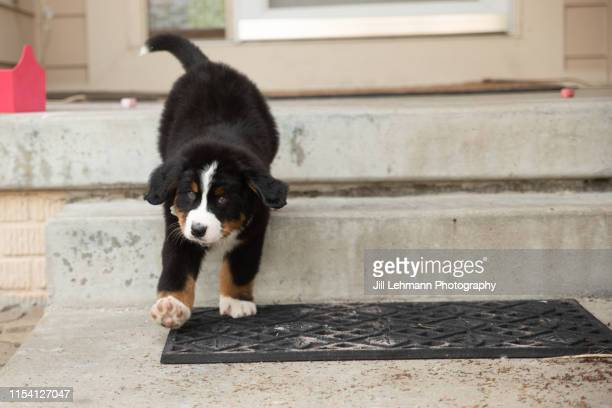 sweet bernese mountain dog puppy at 8 weeks old walks down steps - naughty america stock pictures, royalty-free photos & images