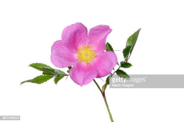 Sweet briar (Rosa rubiginosa), white background.