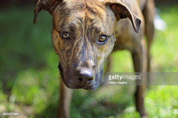 Sweet brindle dog