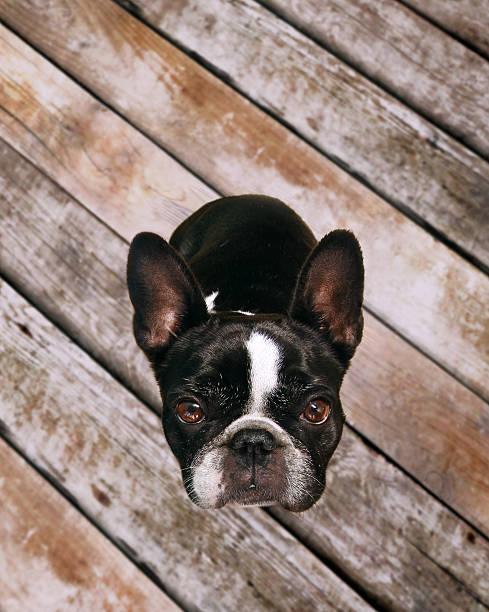 sweet bulldog dog looks up at camera