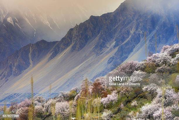sweet cherry blossom in hunza valley and mountain in the background. north pakistn. - hunza valley stock pictures, royalty-free photos & images