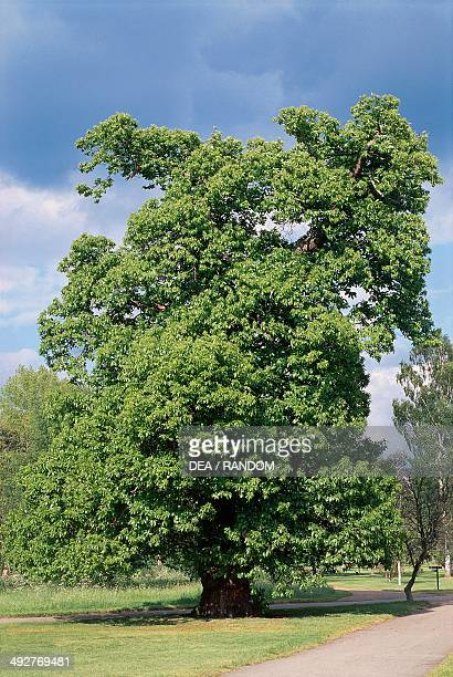 Sweet Chestnut Fagaceae