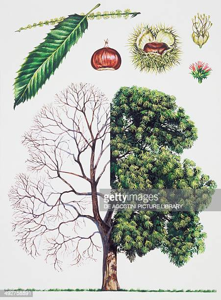 Sweet Chestnut Fagaceae tree with and without foliage leaves flowers and fruits illustration
