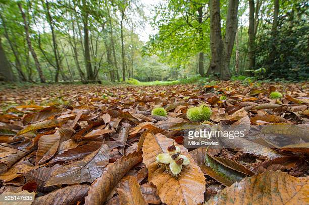 Sweet Chestnut, husks and fruit, Norfolk