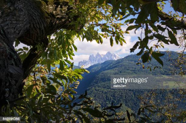 Sweet Chestnut tree  with Dolomites mountain range in the background, Alto Adige, South Tyrol, Italy