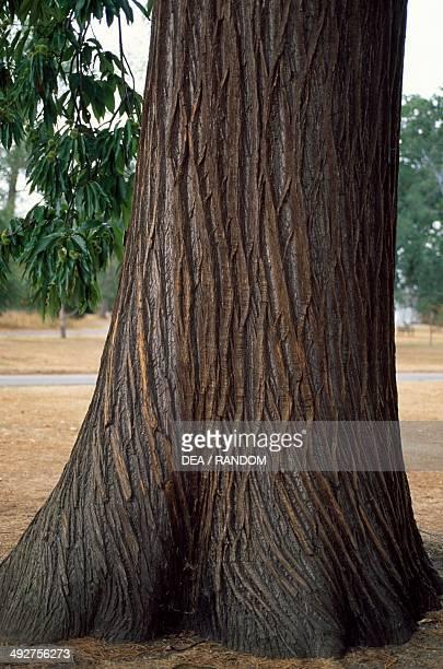 Sweet Chestnut Trunk Fagaceae