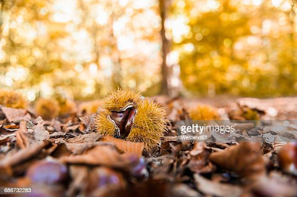 sweet chestnuts and autumn leaves lying on forest soil - castanhas imagens e fotografias de stock