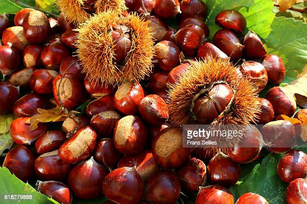 sweet chestnuts (castanea sativa), some still in the husk - castanhas imagens e fotografias de stock