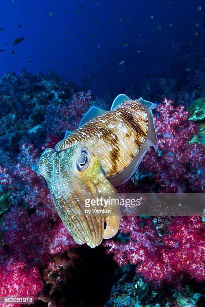 Sweet Cuttle fish