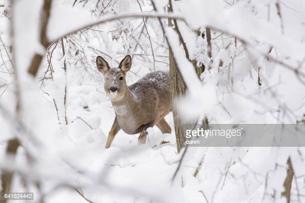 sweet deer into the white forest in winter very close and very careful