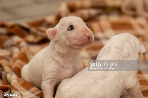 sweet english bullterrier puppies - bull terrier stock pictures, royalty-free photos & images