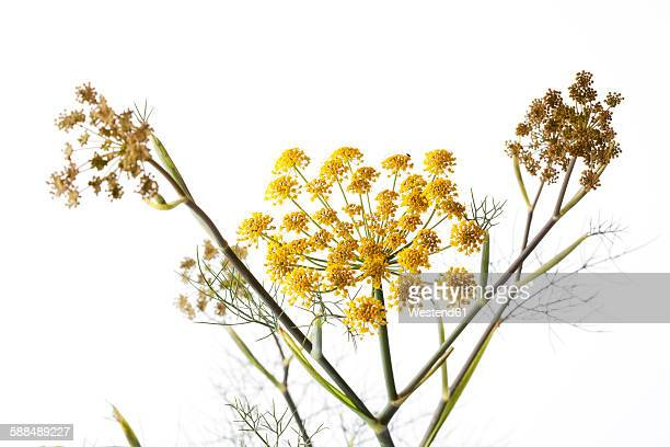 Sweet fennel on white ground