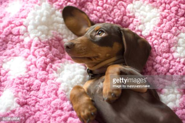 sweet girl - dachshund stock pictures, royalty-free photos & images